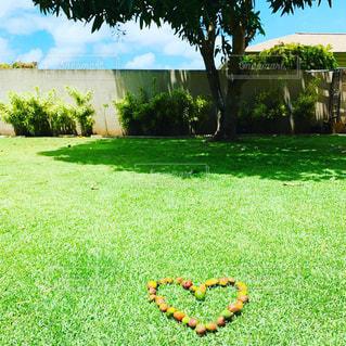 マンゴー,ハワイ,ホームファミリー庭
