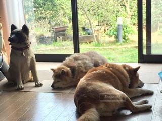 犬,自然,動物,緑,景色,寝顔,柴犬