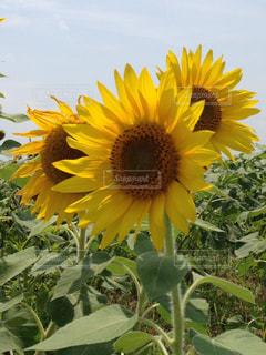 花,夏,ひまわり,黄色