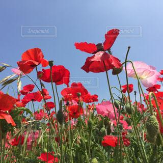 花,春,屋外,景色,ポピー,秩父,草木