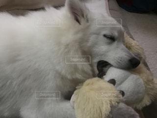 犬,寝顔,日本スピッツ