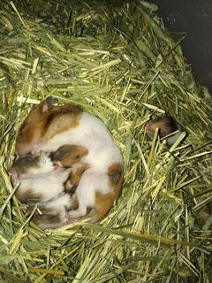 干し草の上でみんなでお昼寝するゴールデンハムスターと赤ちゃん達の写真・画像素材[723100]