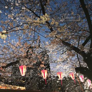 目黒川の桜の写真・画像素材[1155553]