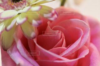 薔薇🌹の写真・画像素材[1435494]