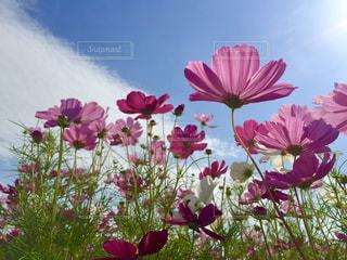 青空と秋桜の写真・画像素材[1480852]