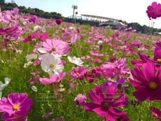 花,秋,お花畑,ピンク,コスモス,秋桜,ピンク色