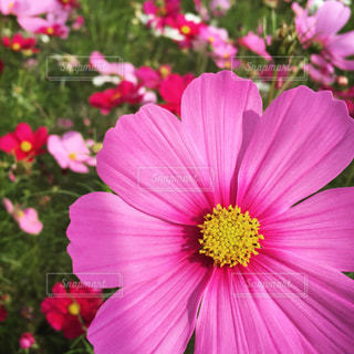 花,秋,花畑,ピンク,コスモス,秋桜,ピンク色,コスモス畑