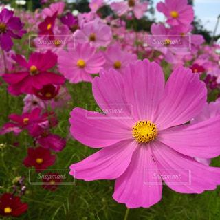 花,秋,花畑,ピンク,コスモス,秋桜,ピンク色