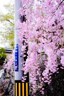 風景,春,桜,屋外,山梨県,枝垂れ桜,富士吉田市,大正寺