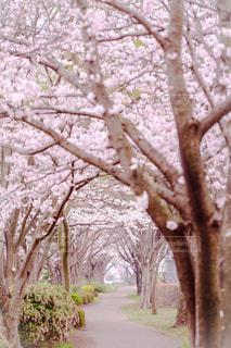 風景,春,桜,屋外,トンネル,神奈川県,相模川