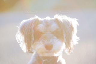 カメラを見て白い犬の写真・画像素材[904877]