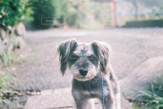 芝生の上の犬の地位の写真・画像素材[977971]