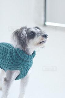 カメラを見て犬の写真・画像素材[977974]