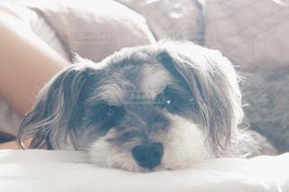 ベッドの上で横になっている茶色と白犬の写真・画像素材[1216771]