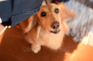 テーブルの上に座っている犬の写真・画像素材[978345]