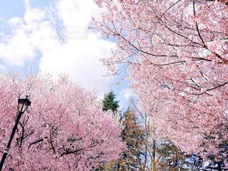 ピンクの花の木の写真・画像素材[1126978]