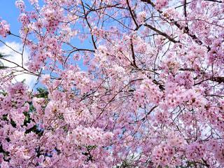 空,春,桜,ピンク,緑,雲,青空,青,お花見,仙台,宮城,おでかけ,lumixgf7,2018年4月,錦町公園