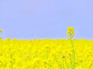 フィールド内の黄色の花の写真・画像素材[1847114]