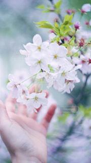 桜と手の写真・画像素材[4284396]