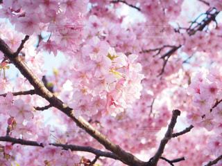 自然,春,河津桜,卒業式