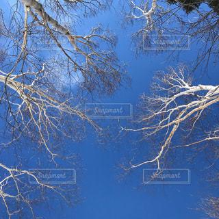 白樺と青空の写真・画像素材[1094317]