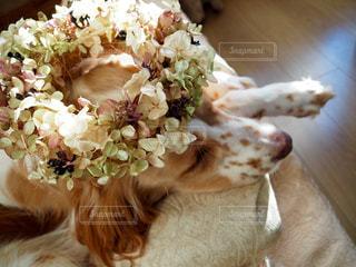 犬,花,花冠,お昼寝,愛犬,イングリッシュセッター,セッター