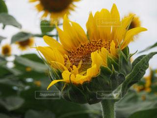 近くに黄色い花のアップの写真・画像素材[707045]