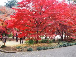 木の赤い花の写真・画像素材[846492]