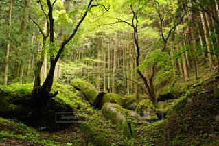フォレスト内のツリーの写真・画像素材[705338]