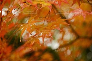 しっとり紅葉の写真・画像素材[779513]