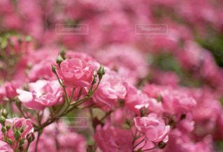 花,ピンク,植物,バラ,バラ園,ピンク色,桃色,pink