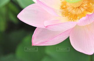 ハスの花に魅せられての写真・画像素材[2062703]
