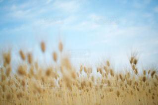 空と麦との写真・画像素材[2474694]