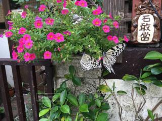 蝶々の写真・画像素材[283803]