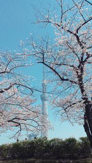 東京スカイツリーの写真・画像素材[1095173]