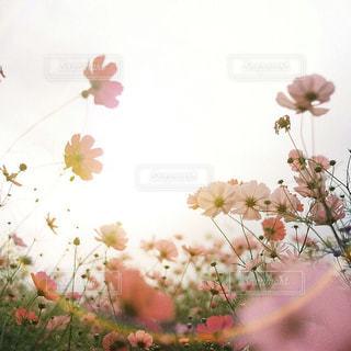 コスモスと秋のやわらかい光の写真・画像素材[1454920]