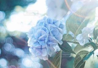 青い紫陽花の写真・画像素材[3383904]