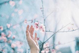 ほのかに咲く桜の写真・画像素材[3402210]