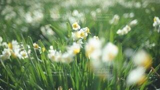 花,春,冬,草,水仙,スイセン,草木,水仙畑,スイセン畑