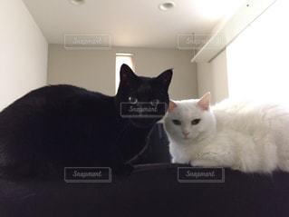 白猫と黒猫の写真・画像素材[976506]