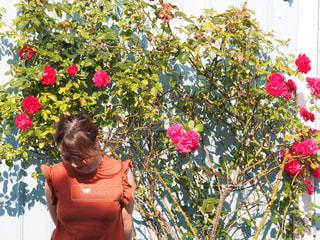 ゴッドランド島の薔薇と私の写真・画像素材[888509]