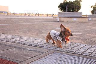 歩道の上を歩く犬の写真・画像素材[973235]
