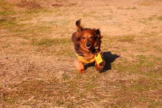 その口でフリスビーと走っている犬の写真・画像素材[973489]
