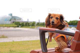 草の中に座っている茶色と白犬 - No.973560