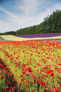 フィールドに赤い花の写真・画像素材[1265770]