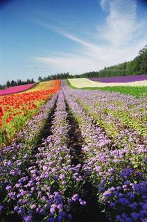 大きな紫色の花は、庭の写真・画像素材[1265779]