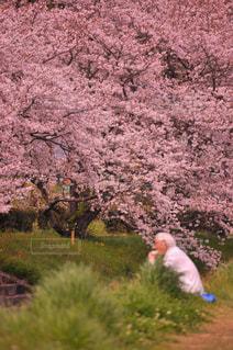 桜,ランチ,堤防,川,花見,ひとり,おじいちゃん,堤,ひとりじめ,ソロ