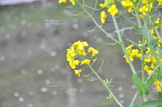 散る桜に菜の花の写真・画像素材[1852340]