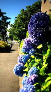朝の紫陽花の写真・画像素材[550580]