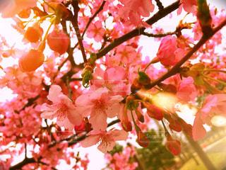 花,春,桜,ピンク,太陽,綺麗,花見,鮮やか,光,明るい,日中,さくら